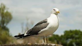 Pigeon dans la station thermale de Bath Photos stock