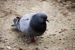 Pigeon dans le monceau Paris de parc Photographie stock