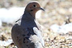 Pigeon dans les bois Image stock