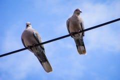 Pigeon de baîllement Photos libres de droits