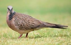 Pigeon de Balinese Images libres de droits