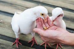 Pigeon de blanc d'alimentation Photos libres de droits