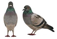 Pigeon de colombe d'isolement Photos libres de droits