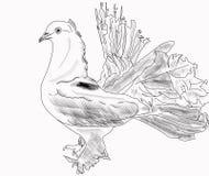 Pigeon de culbuteur blanc Images libres de droits