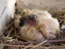 pigeon de deux bébés Photos libres de droits