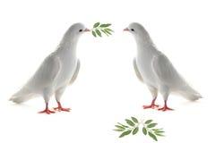 Pigeon de deux blancs Images libres de droits