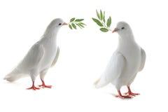 Pigeon de deux blancs Photographie stock libre de droits