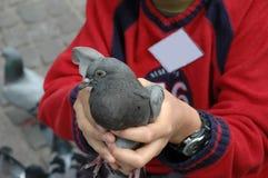 Pigeon de fixation de garçon Photos libres de droits