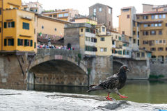 Pigeon de Florence Photos stock