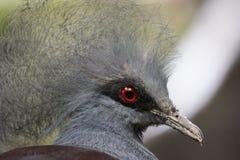 Pigeon de goura de tête Photographie stock libre de droits