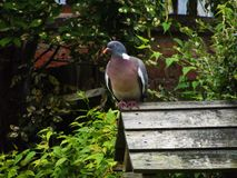 Pigeon de jardin Photo libre de droits