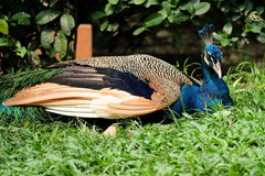 pigeon de mandarine Images stock