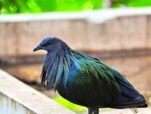 Pigeon de Nicobar Image libre de droits