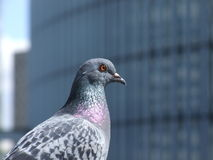 Pigeon de Paris images libres de droits