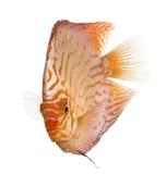 pigeon de poissons de disque de sang Images libres de droits