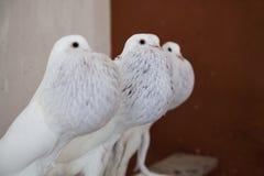Pigeon de pouter de trois blancs dans le colombier photographie stock
