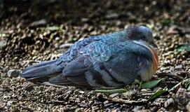 Pigeon de purge-coeur de Luzon photo libre de droits