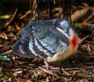 Pigeon de purge-coeur de Luzon photos stock