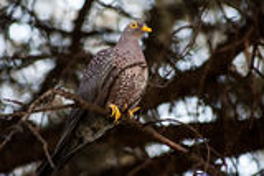 Pigeon de Rameron Photo libre de droits