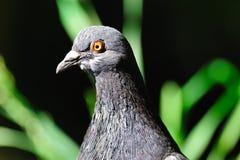 Pigeon de roche photos stock