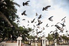 Pigeon de roche Photographie stock libre de droits