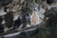 Pigeon de roche images stock