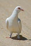 Pigeon de roche blanc image stock