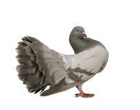 Pigeon de roche - colomba livia Photo libre de droits