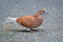Pigeon de roche de Brown images libres de droits