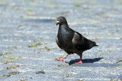 Pigeon de rue Images libres de droits
