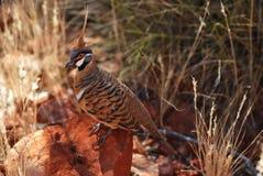 Pigeon de Spinifex (plumifera de Geophaps) Photographie stock