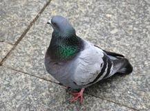 Pigeon de ville Images libres de droits