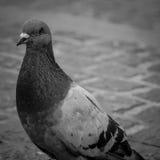 Pigeon de ville Photographie stock