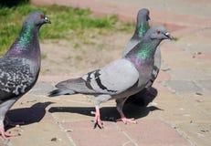 Pigeon de ville sur le trottoir Photo stock