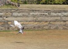 Pigeon de vol Photographie stock libre de droits