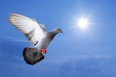 Pigeon de vol Image libre de droits