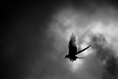 Pigeon de vol Photographie stock