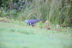 Pigeon de Wonga Image libre de droits