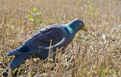 Pigeon decoy. On field for hunting royalty free stock photography