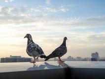 Pigeon des visions uniques deux dans la haute tour à l'arrière-plan de ville La vie dans la ville Image libre de droits