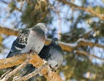 Pigeon deux en parc d'hiver sur une branche de pin Photo stock