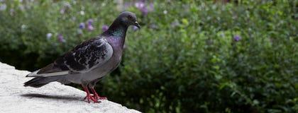 Pigeon devant un fond vert Images libres de droits