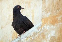 Pigeon, Doha, Qatar Stock Images