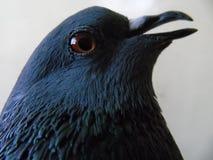 Pigeon domestique Image libre de droits