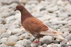 Pigeon / dove Royalty Free Stock Photography