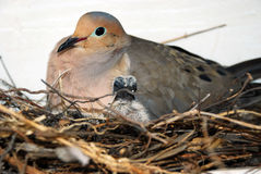 Pigeon Dove Stock Photos
