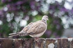 Pigeon dove Stock Images