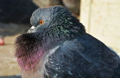 Pigeon or dove and beauty, in Venice Stock Image
