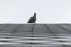 Pigeon or dove birds on roof tile. Stock Photo
