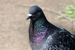 Pigeon dove-coloured Royalty Free Stock Image